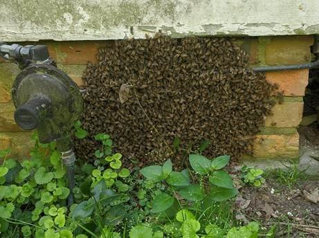 Honeybee swarm on the foundation of a home.