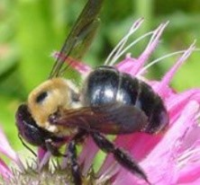A Carpenter Bee on a pink flower