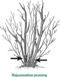 Illustration of rejuvenation pruning.