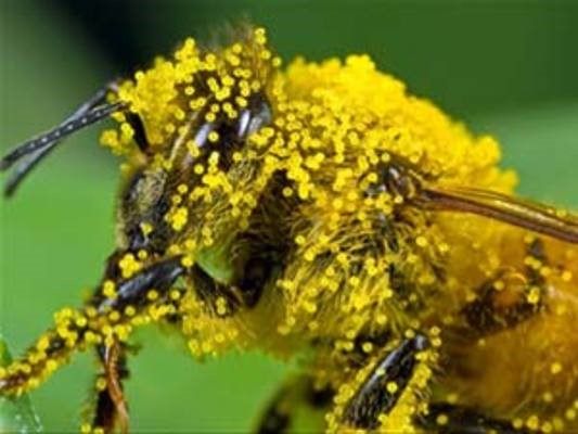 Photo of a honey bee with pollen particles attached to it