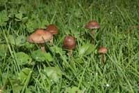 Photo of lawnmower's mushroom