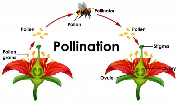 A diagram showing how pollination from one flower to another happens.