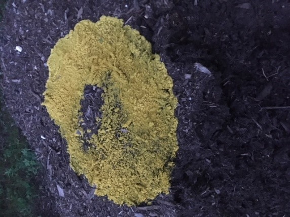 Photo of slime mold