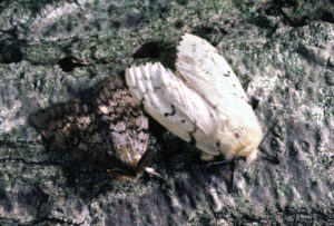 Male (left) and female gypsy moths, Lymantria dispar.