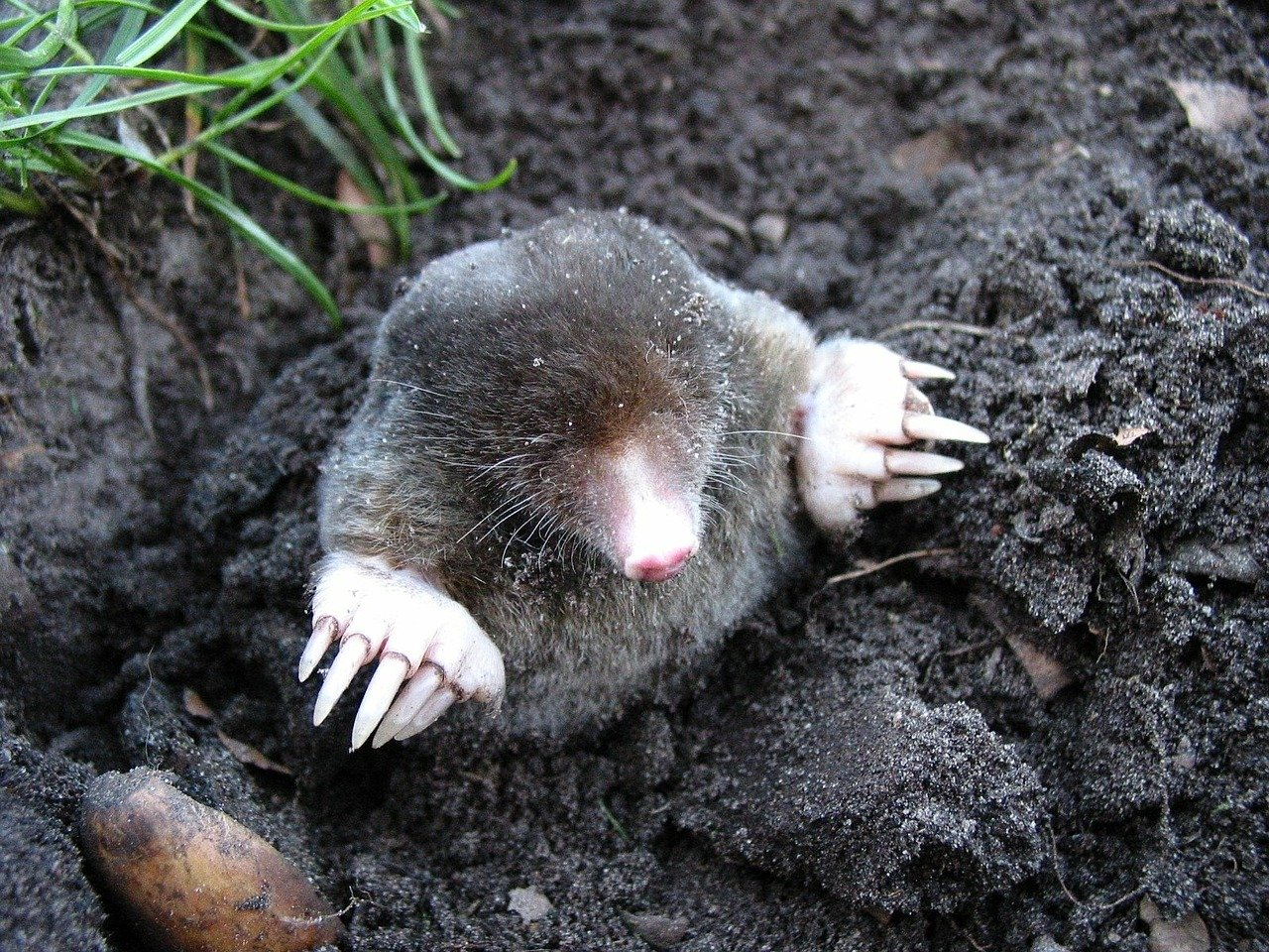 Photo of mole coming out of the ground