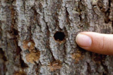 Round holes in tree trunk made by adult Asian long-horned beetles.