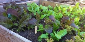 Photo of lettuce planted in a raised bed garden.