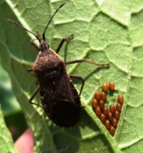 Photo of a squash bug and it's cluster of eggs on a plant leaf.
