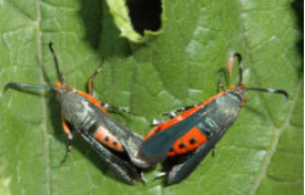 Photo of a squash vine borer moth.