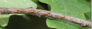 Photo of damage to an oak branch made by female periodical cicadas.