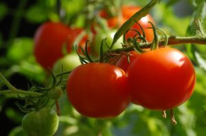 Photo of a tomatoes on a vine.