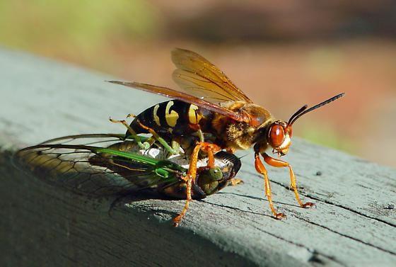 Photo of a cicada killer.
