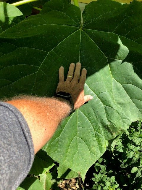 Photo of a Paulownia tomentosa plant leaf and a man's hand. The leaf is much larger than his hand.