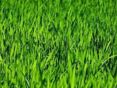 Close up photo of grass.