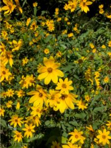 Photo of a tickseed sunflower.
