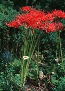 Photo of a red spider lily.