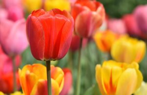 Photo of tulips (red, yellow)