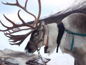 Photo of a reindeer