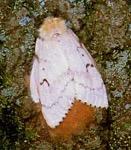 Photo of an adult female gypsy moth.