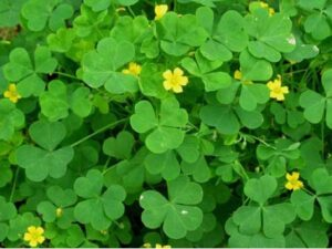 Photo of common yellow wood sorrel. Green plant that is recognized by it's heart-shaped leaves.