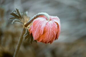 Photo of a flower with frost on it.