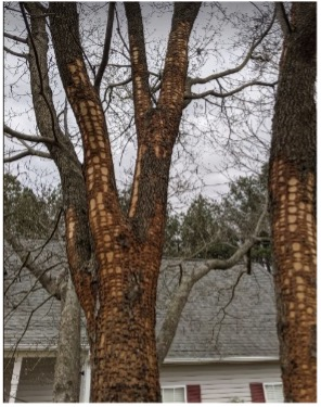 Picture of a dogwood tree with severe damage caused by the yellow-bellied sapsucker.