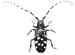 The beetle is black with white spots and the long antennas have alternating horizontal black and white stripes