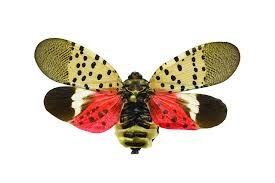 The spottend lantern fly had brown upper wings with dark tips and black spots. The lower wings are orange, white, and black with black spots.